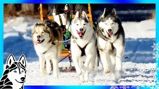 Download DOG SLEDDING ADVENTURE | GoPro Hero5 Black GoPro Karma Grip Video
