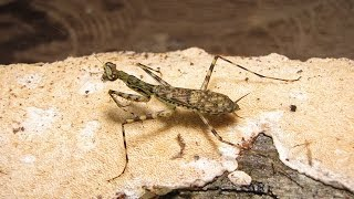 Download Discovery of 19 New Praying Mantis Species Video