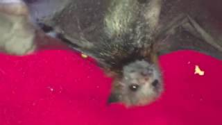 Download Rescued baby bat isn't happy: Miss Megabytie Video