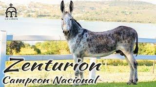 Download Burros y Mulas La Lobera - Zenturion el Campeón Nacional Video