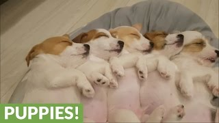 Download Sleeping Jack Russell puppies will melt your heart! Video