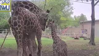 Download Let's play tag!! Elizabeth & Konza the giraffes play at Topeka Zoo Video