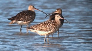 Download Eurasian Curlews and Whimbrels | Zarapitos reales y trinadores en el Tancat de Milia Video