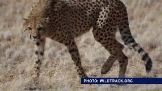 Download ConservationFIT Helps Track Endangered Species with Online Footprints Video