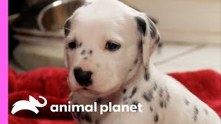 Download Fireman Becomes New Owner Of A Lovable Dalmatian | Too Cute! Video