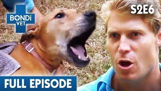 Download 🐶 Dog Gets Paralysis Tick Bite | S02E06 | Bondi Vet Video