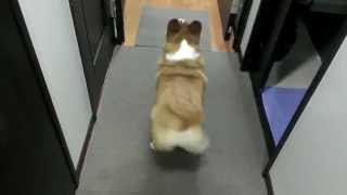Download Bubble Butt Corgi Twerk Video