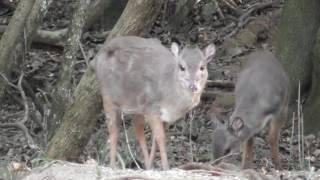 Download Blue Duiker hunt - East Cape Plains Game Safaris Video
