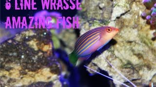 Download Six Line Wrasse: Amazing Fish Video