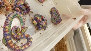 Download LIVE BIRTH RAINBOW SNAKE BABIES! Brian Barczyk Video