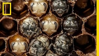 Download Amazing Time-Lapse: Bees Hatch Before Your Eyes | National Geographic Video