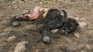 Download REAL BIGFOOT CAUGHT ON CAMERA 2014!? BIGFOOT EVIDENCE! Video