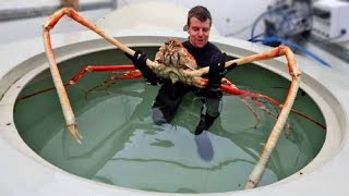 Download WORLD'S BIGGEST CRABS Video