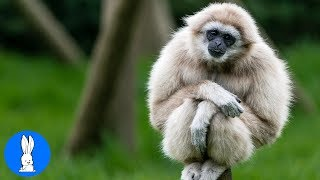 Download Cute Gibbons Playing & Climbing Video