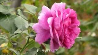 Download 群馬フラワーパーク 秋バラ Video