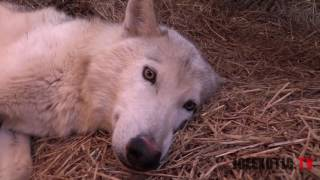Download New Litter Of Wolf Pups Video