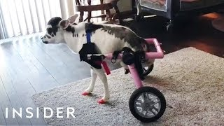 Download Disabled Mini Cow Can Walk For The First Time With Adjustable Wheelchair Video