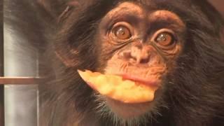 Download チンパンジー 双子の赤ちゃん122 Chimpanzee twin baby Video