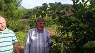 Download Portakal, Fidanı, Ağacı, Dikimi, Gübreleme, Budama, Sürgünü, Fisili Video