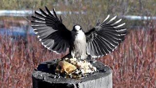 Download JAY Birds - Canada Jays (aka: Gray Jay, Whiskey Jack, Camp Robber) Slow Motion Video