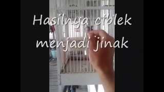 Download Cara menjinakkan burung ciblek Video