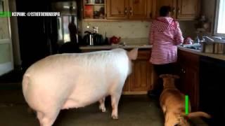 Download Подложили свинью: купленный канадской парой мини-пиг вырос до трёх центнеров Video