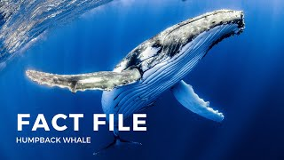Download Facts about the Humpback Whale Video