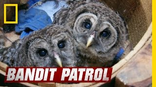 Download Baby Owls Learn To Fly | Bandit Patrol Video