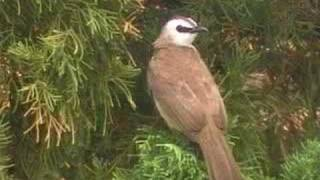 Download sound of Yellow-vented Bulbul Video