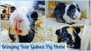 Download What You Need to Know When You First Get Your Guinea Pigs Video