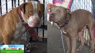 Download Two Pit Bulls tied with chains and locks abandoned under the freeway. Video