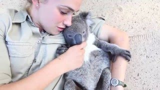 Download Koala joey runs over for belly tickles and cuddles Video