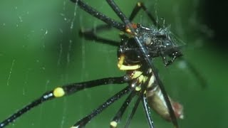 Download Small Spider Steals From A Giant Spider | Trials Of Life | BBC Earth Video