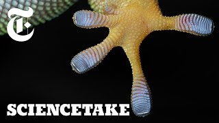 Download Harnessing the Power of Gecko Feet | ScienceTake Video