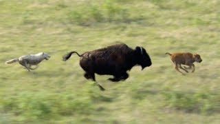 Download Wolves Hunt Buffalo and Calf | BBC Earth Video