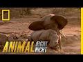 Download Elephant vs. Rhino | Animal Fight Night Video