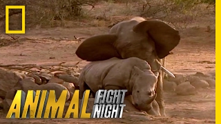 Download Elephant vs. Rhino | Animal Fight Night Video