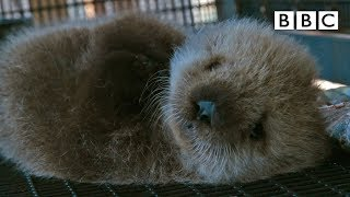 Download Orphan sea otter - Super Cute Animals: Preview - BBC One Video
