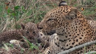 Download Seriously Cute Little Leopard Cub #youtubeZA Video