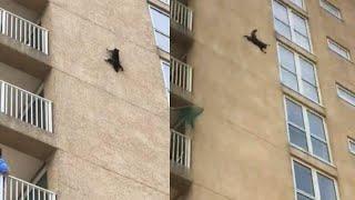 Download Daredevil Raccoon Scales 9 Floors of New Jersey Building Video