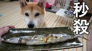 Download 柴犬小春 飼い主絶句!さんまも喉越し?秒殺一気食いShibainu Koharu devours Sanma fish Video