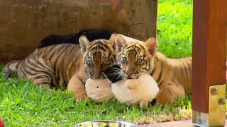Download Cute Tiger Cubs Pose For Cameras | Tigers About The House | BBC Video
