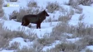 Download The Lone Wolf of Yellowstone Park - Documentary Films Full Length Video