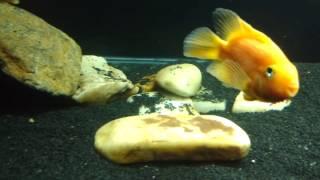 Download Peixe Gar ( Boca de jacaré/Lepsosteus ) se alimentando de Guarus Video