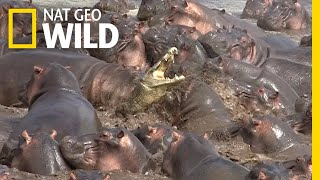 Download Watch What Happens When a Crocodile Walks Into a Herd of Hippos | Nat Geo Wild Video