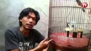 Download Tips Merawat Burung Murai agar Kicauannya Indah Video