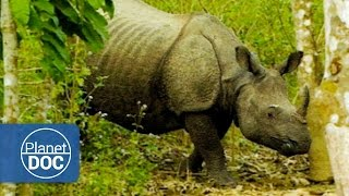 Download Indian Rhinoceros Full Documentary | On The Tracks Of The Unicorn - Planet Doc Full Documentaries Video