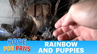 Download Hope For Paws: Homeless Pit Bull gives birth in a den during a massive rainstorm. SO MANY PUPPIES! Video