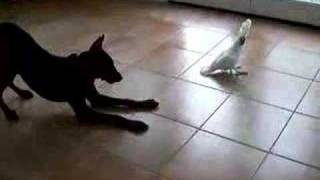 Download Cockatoo Charlie And My Dog - Funny (Original Video) Video