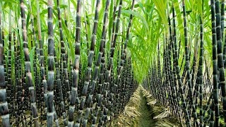Download Agriculture Technology - Sugar Cane Cultivation - Sugar Cane Farming and Harvesting, processing Video
